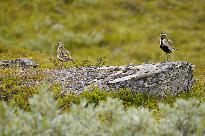 Male and Female European Golden Plover (Lóa)
