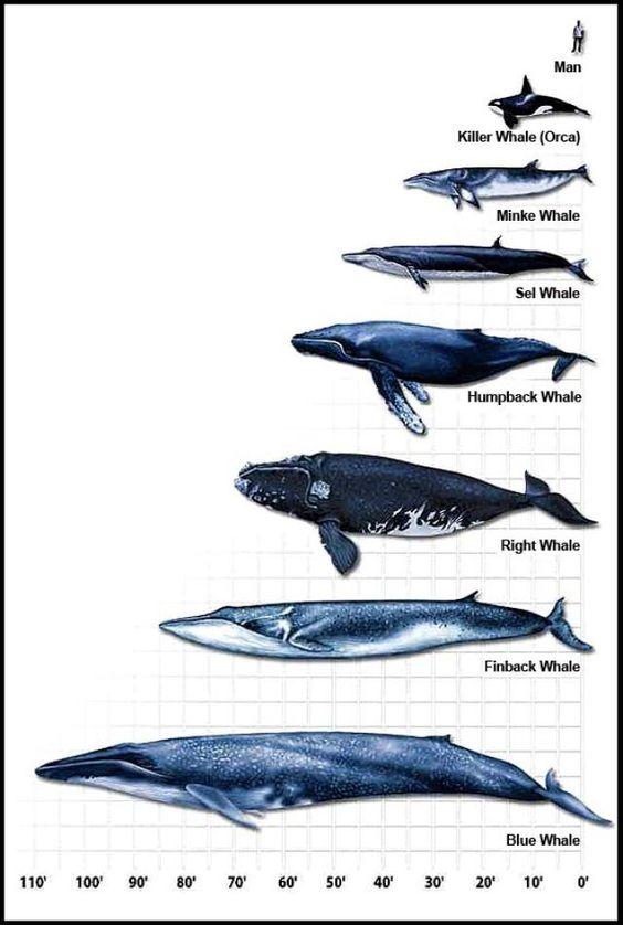 Whale scaling fact sheet