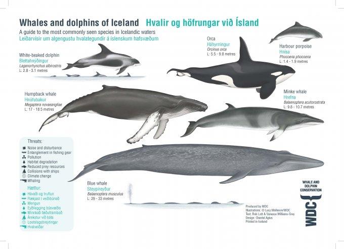 Whales in Iceland factsheet