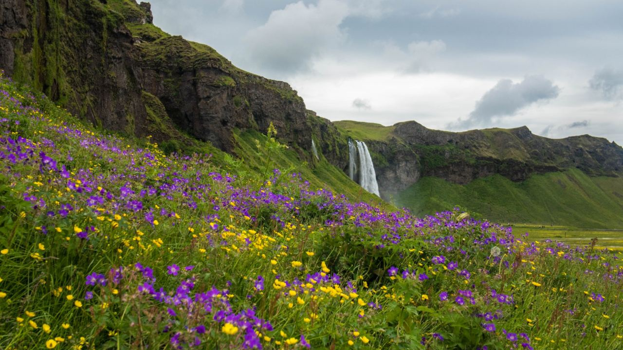 Pretty flowers beside Skogafoss waterfall in the south coast of Iceland - South Shore Glacier Walk and Ice Climbing with Iceland Mountain Guides