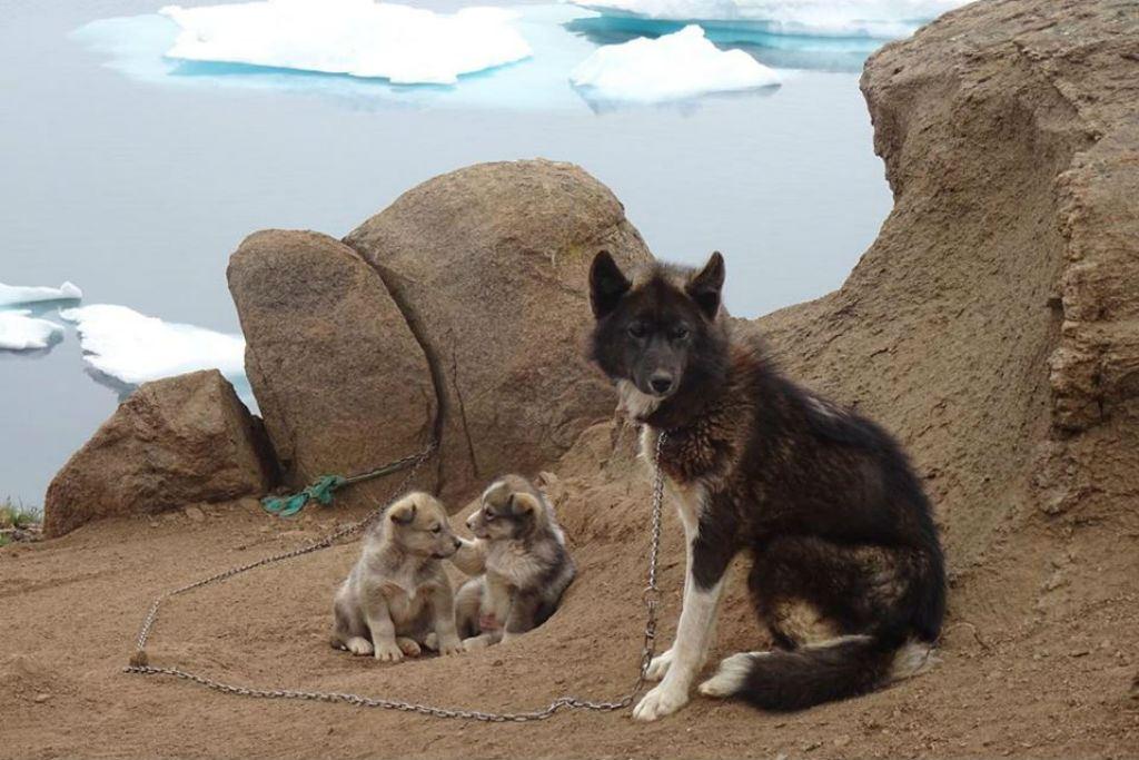 Greenlandic husky with her puppies