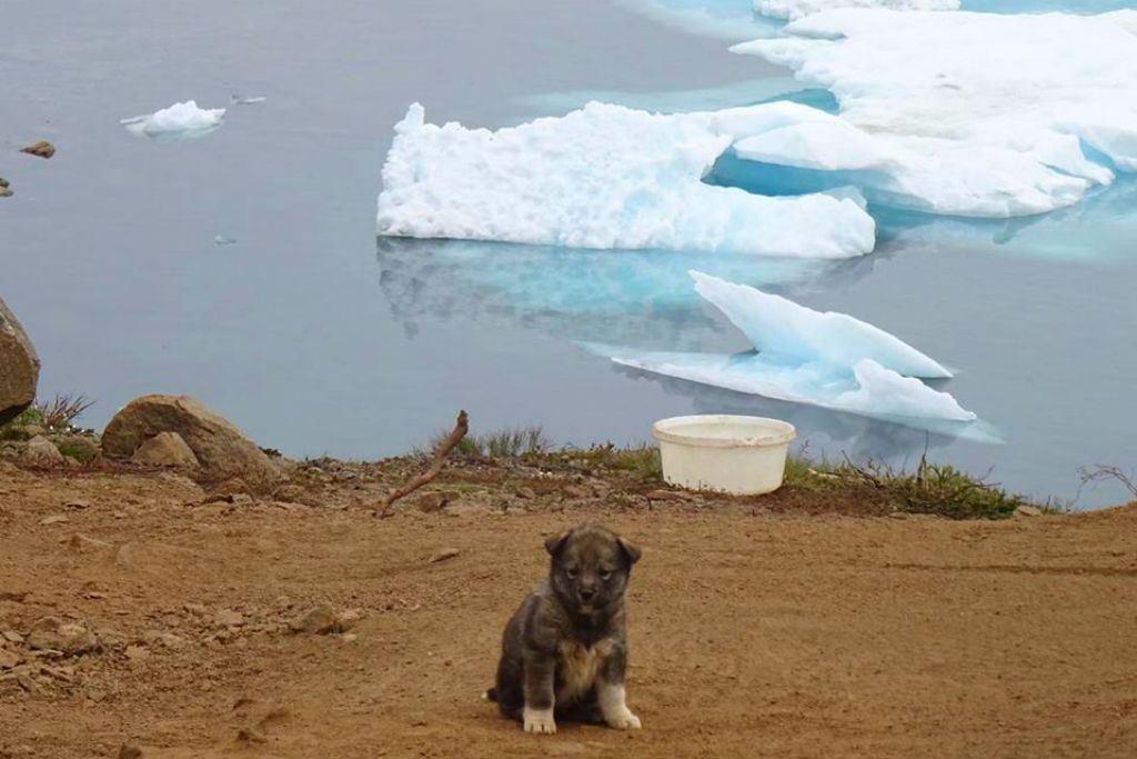 Greenlandic husky puppy