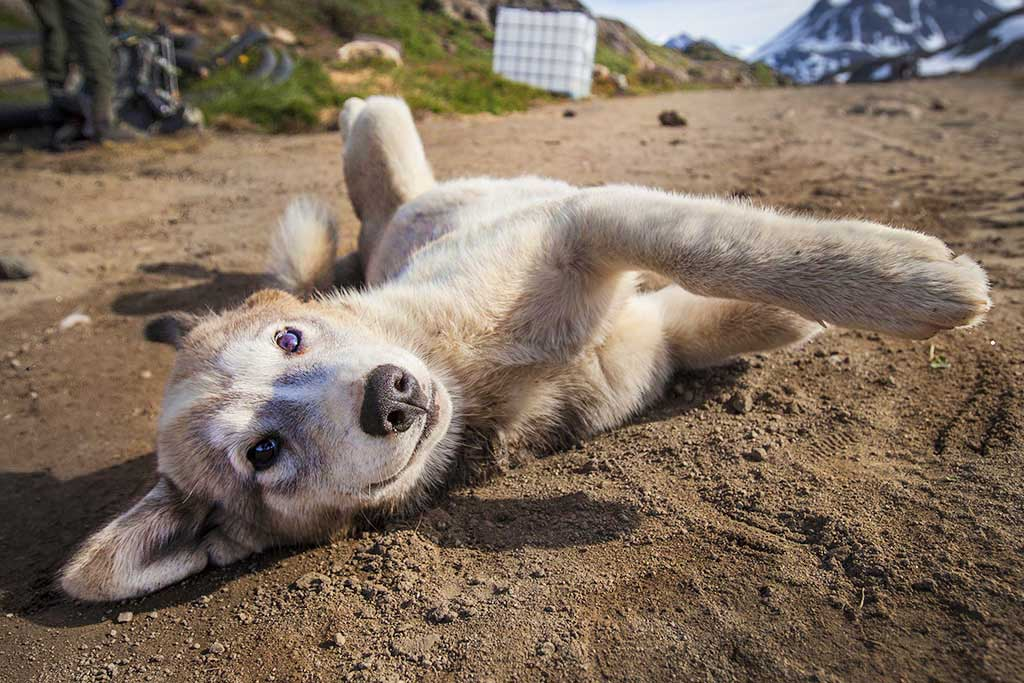 Greenlandic puppy in East Greenland