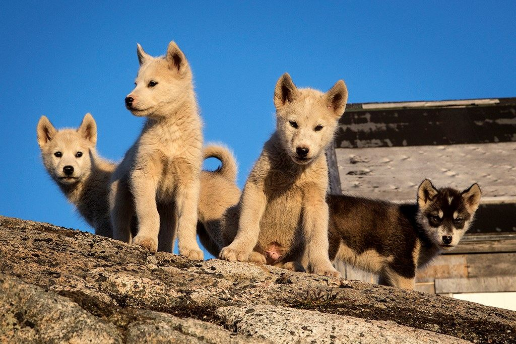 Husky puppies in East Greenland
