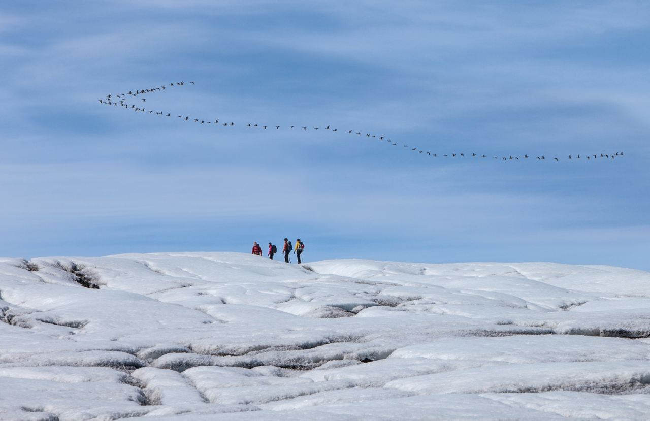 Flock of geese flying over the glaicer