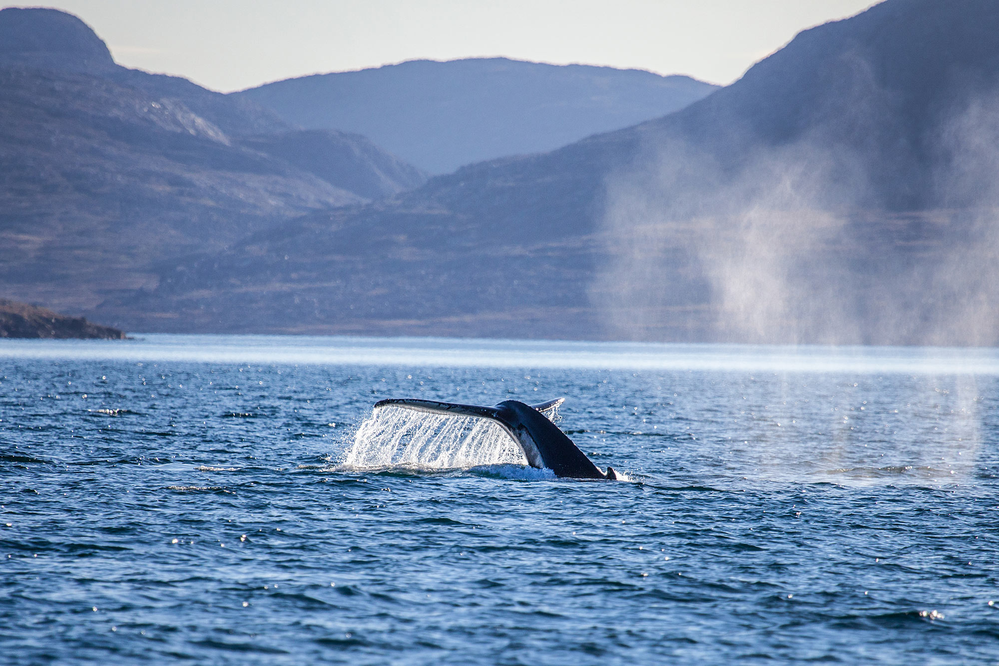 Humback Whale in Greenland fjords