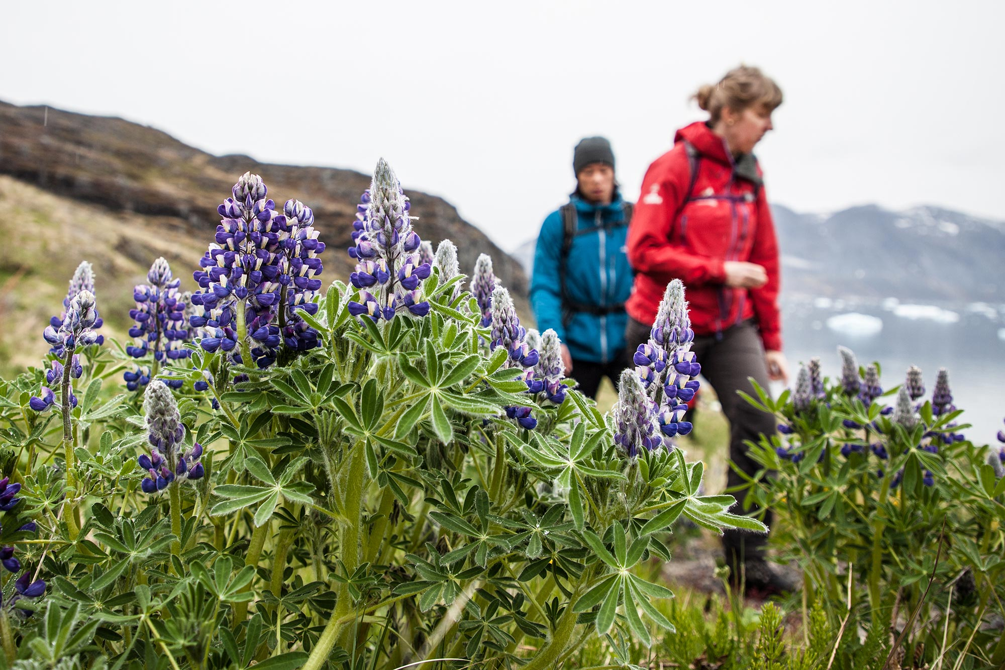 Hiking in the flora in Greenland