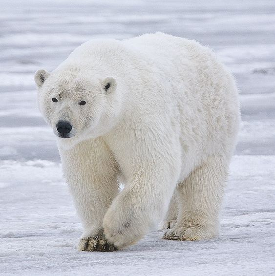 You Re Amazing Animals: The Amazing Arctic Animals Of Greenland