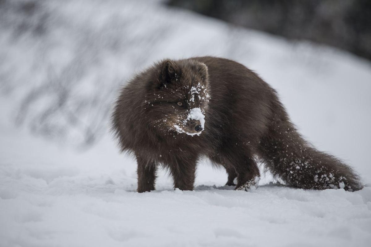 The Amazing Arctic Animals Of Greenland